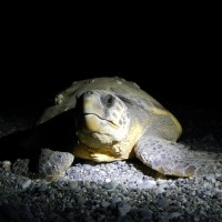 Tartaruga Caretta 3 - Arrivo Tartaruga Notte (Giovanni Parire)