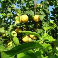 Bergamotto - Frutti 1