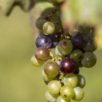 Gastronomia - Vino 14 - Vigneto - Uva - Palizzi (Med Media)