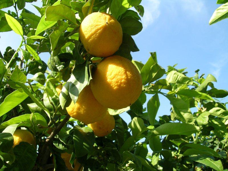 L'Oro Verde della Calabria Greca: il Bergamotto